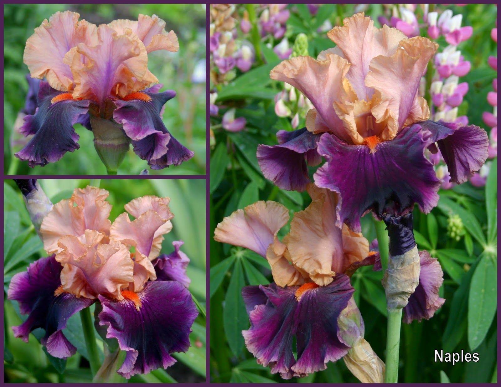 Naples 2018 iris wish list non heirloom pinterest iris naples izmirmasajfo