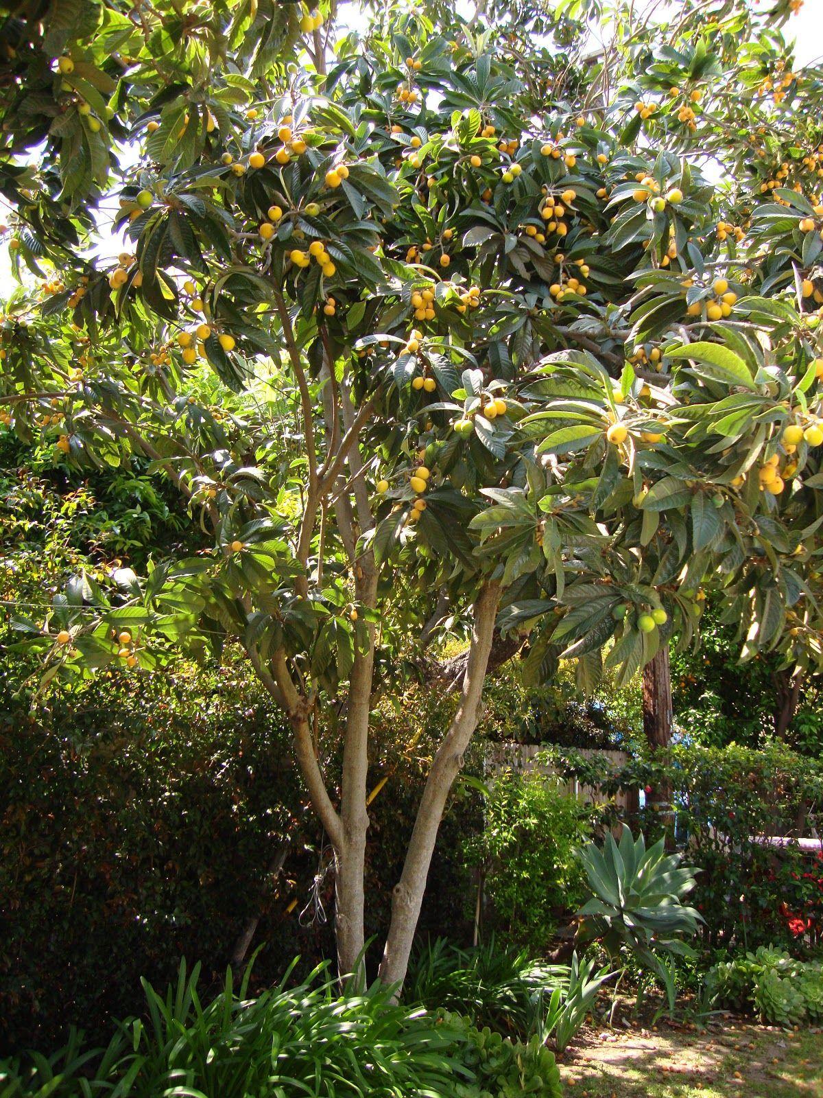 Backyard Garden With Fruit Loquat Tree | gardening | Pinterest ...