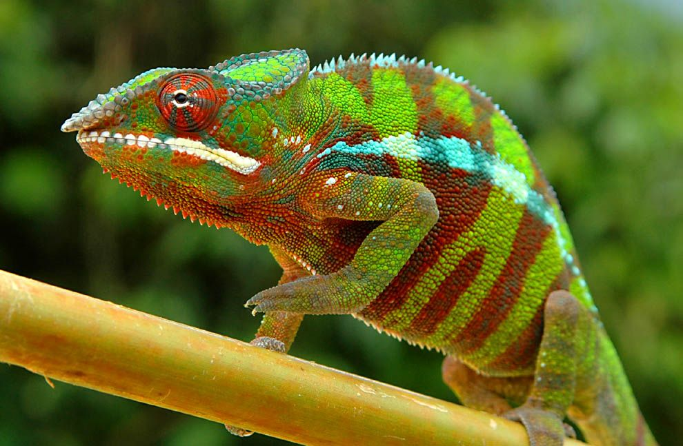 would love to have a chameleon one day...