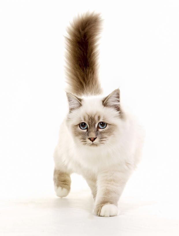7 Silky Facts About Birman Cats Siamese Cats Facts Birman Cat Cat Facts