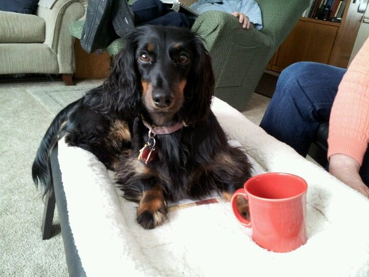 Pippa the long-haired black & tan dachshund (nearly age 2, but a perma-puppy) with coffee mug on her footrest bed