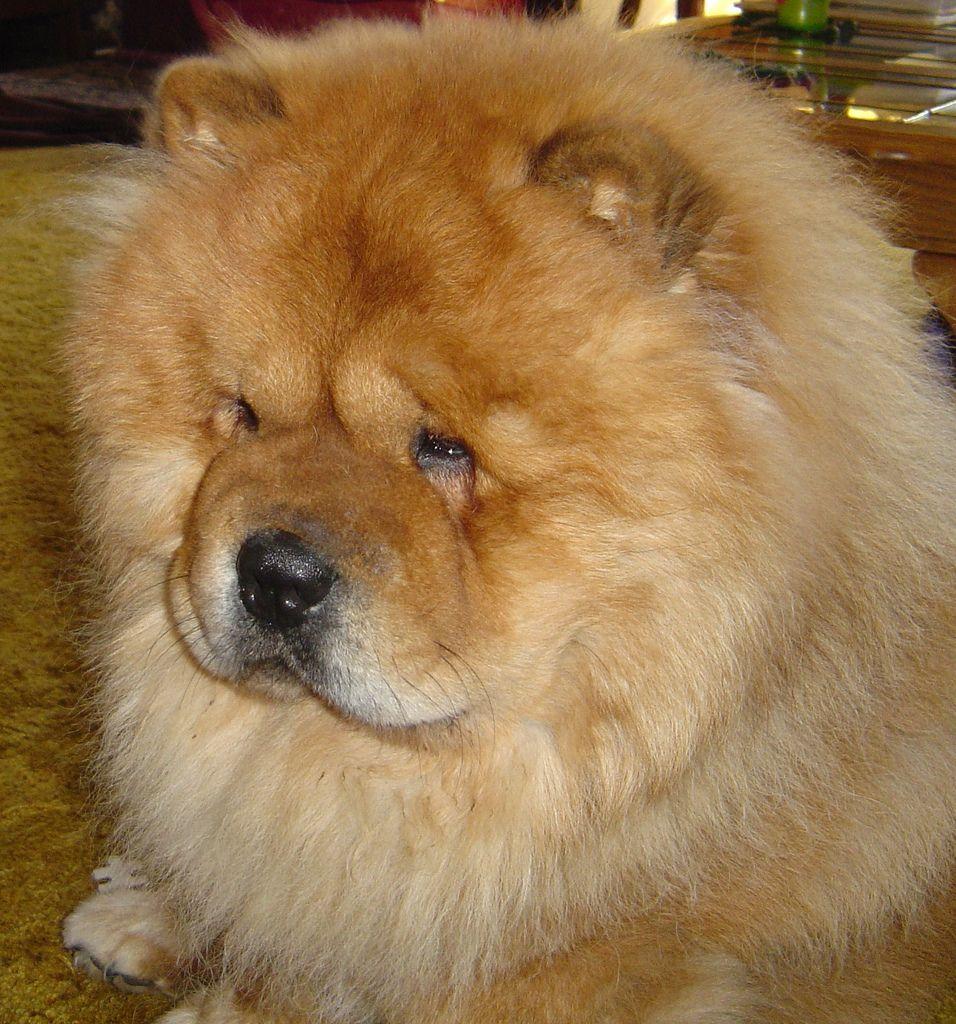 Chow Chow Rowdy (ccfabulous) Tags: dog pets fur fuzzy chow chows chowchow iluvmydog showdog