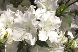 Anchor Autumn Lily Azalea Another Great Introduction To The Encore Azalea Line Is Autumn Lily This Beauty Deve Buy Plants Online Buy Plants Plants Online