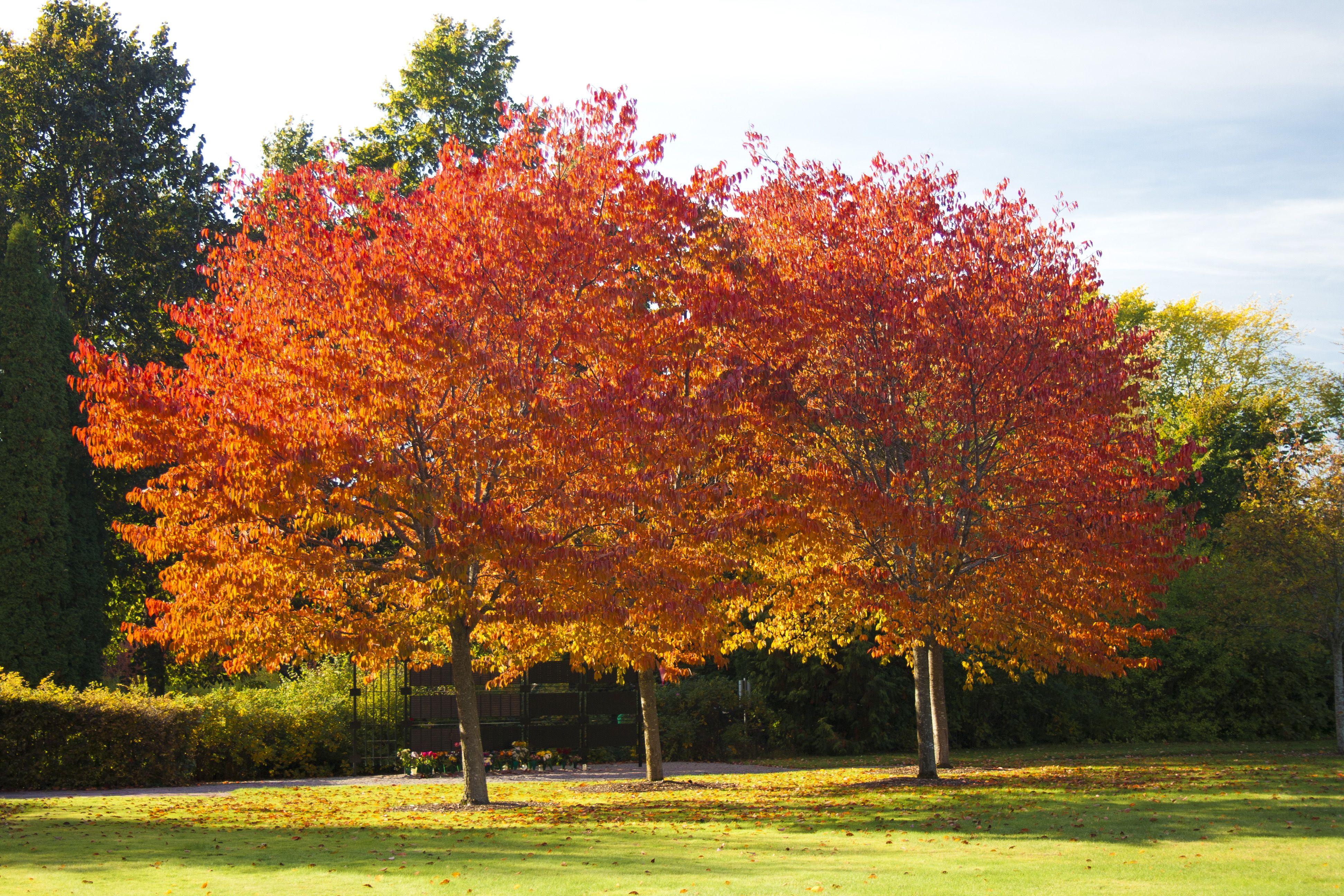 Prunus sargentii | Сад | Pinterest | Prunus, Gardens and Plants