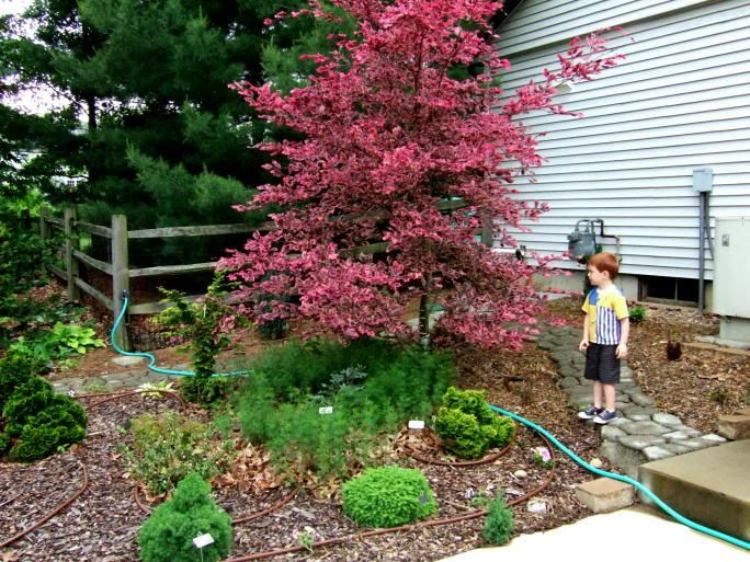 European Tri Color Beech Tree Tri Color Beech Question Trees