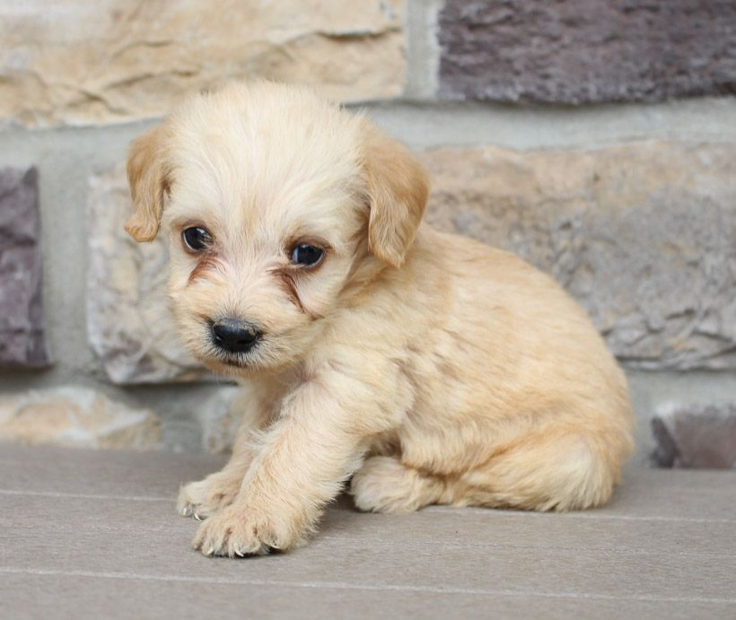 Loren Labradoodle Puppies Near Me For Sale New Haven Indiana
