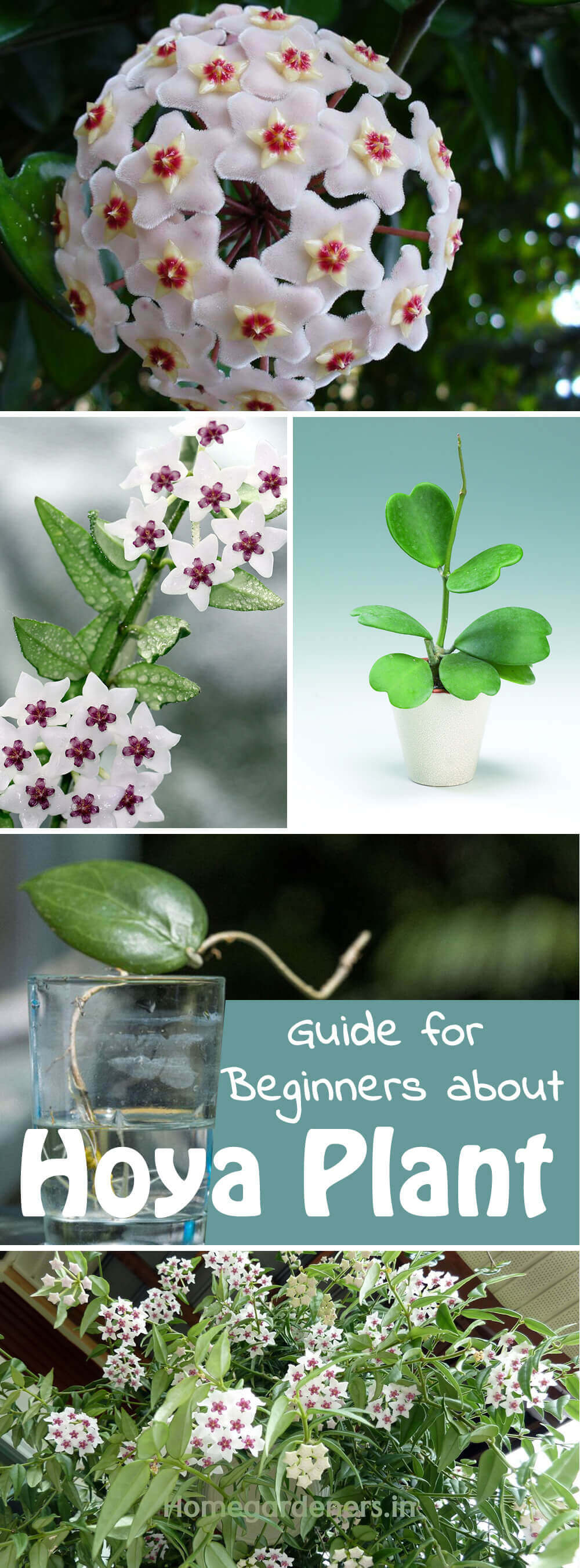 The Complete Guide for Beginners about Hoya plant is part of Hoya plants, Plants, Indoor vegetable gardening, Flower pot design, Hindu rope plant, Indoor flowers - Hoya plant is a lowmaintenance tropical indoor plant often called as wax plant or hindu rope plant due to its thick waxy leaves