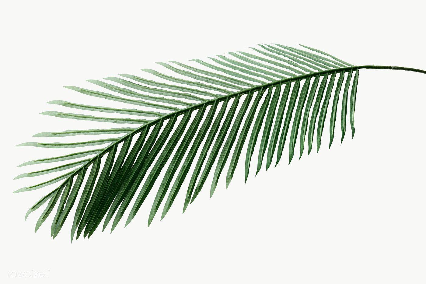 Fresh Green Areca Palm Leaf Design Element Free Image By Rawpixel Com Teddy Rawpixel In 2021 Palm Leaves Palm Leaf Design Areca Palm