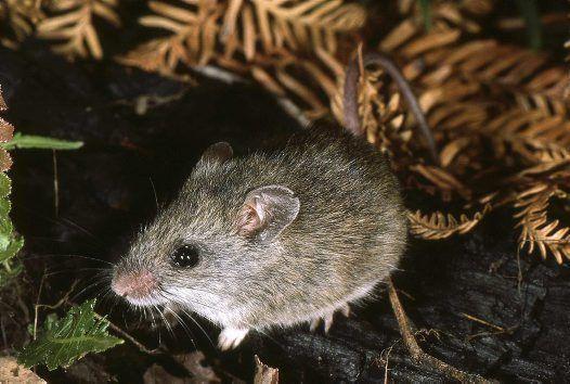 Bush Rat Rattus Fuscipes Assimilis