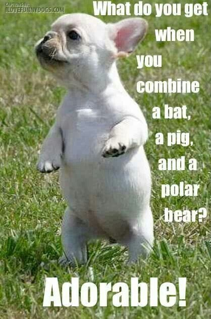 Combine Bat Pig And Polar Bear Fancy Frenchies Bulldog