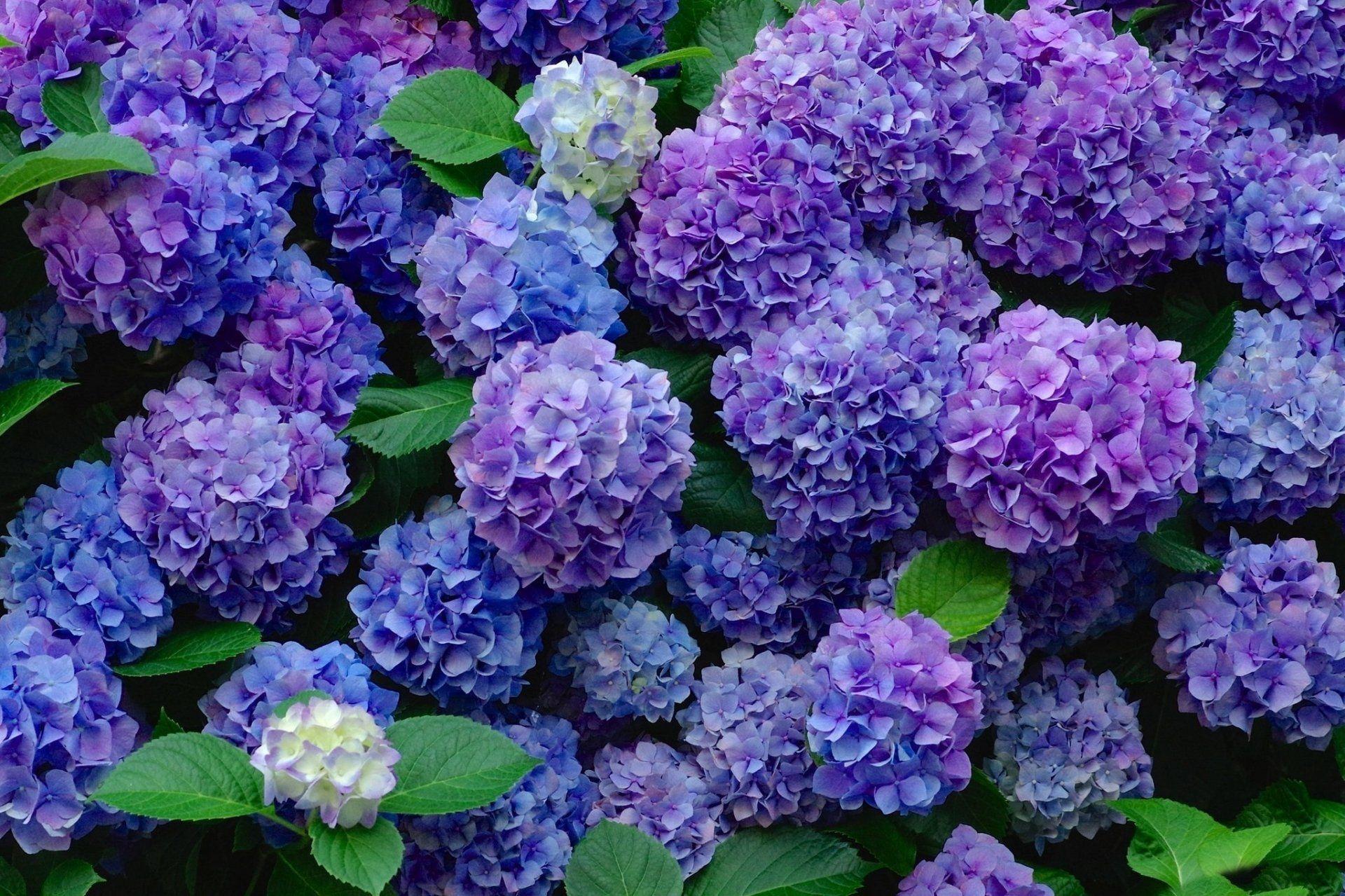 Blue And Purple Hydrangeas Earth Hydrangea Flowers Flower Blue Flower Purple Flower Wallpaper In 2020 Colorful Garden Hydrangea Purple Purple Flowers Wallpaper