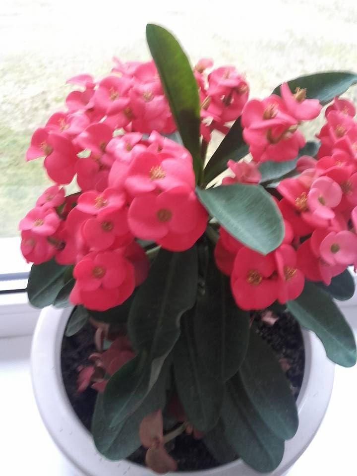 Dygliuotoji Karpazolė Euphorbia Milii Euphorbia Milii Euphorbia Plants