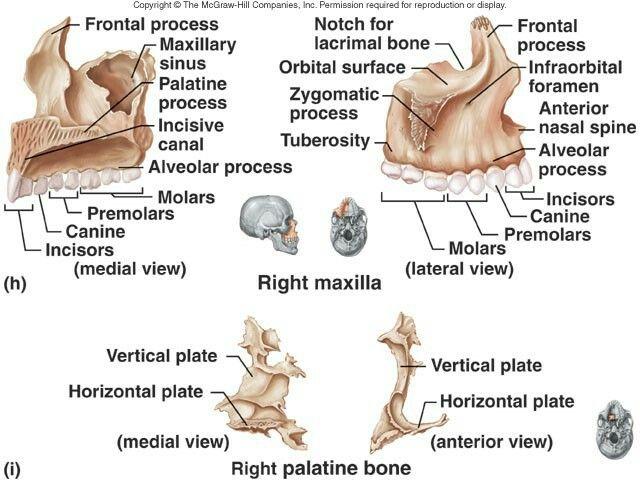 Maxilla Bones Nursing Pinterest Anatomy Axial Skeleton And