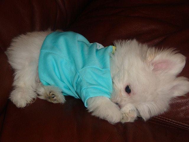 Best 25+ Maltese puppies ideas on Pinterest | Maltese ... Fluffy Little Dog Breeds