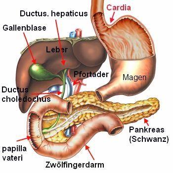 gallenblase anatomie - Google-Suche | nemacki jezik | Pinterest | German