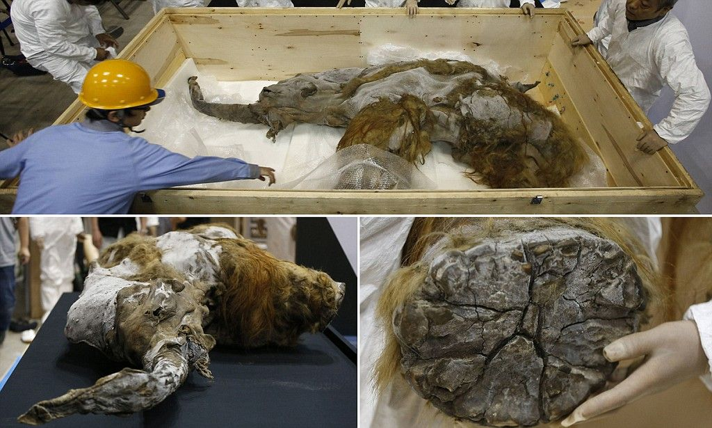 Mummified Siberian 'monster' may be lost species of ... |Extinct Animals Found Frozen