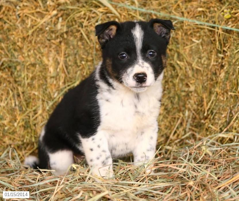 Border Collie Mix Puppies For Sale Border Collie Mix Puppies Lab Mix Puppies Border Collie Mix