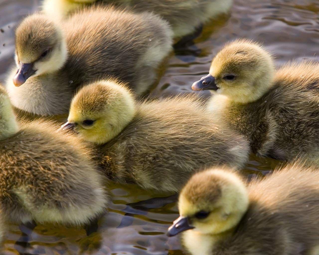 nature, Animals, Birds, Duck, Baby Animals Wallpapers HD / Desktop ...