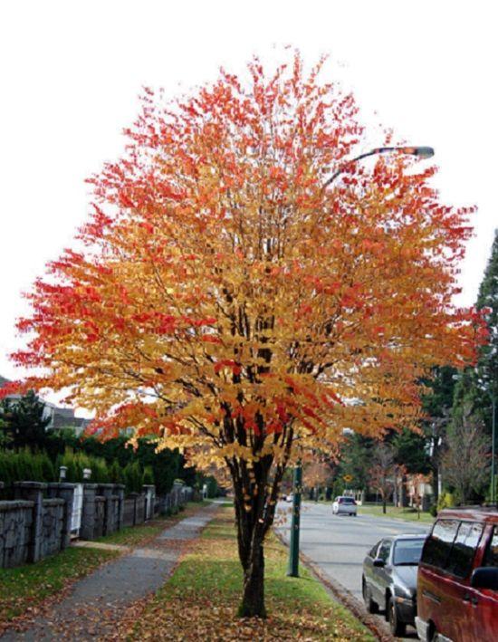 R sultats de recherche d 39 images pour arbre croissance - Arbre d ornement croissance rapide ...