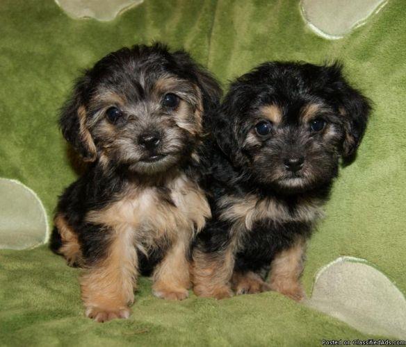 Yorkie Poo Puppies Yorkie Poo Puppies Yorkie Poo Yorkie