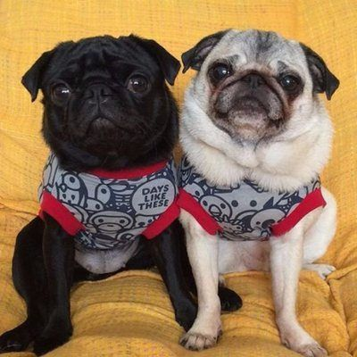 Photo Pugs Cute Pugs Pug Pictures