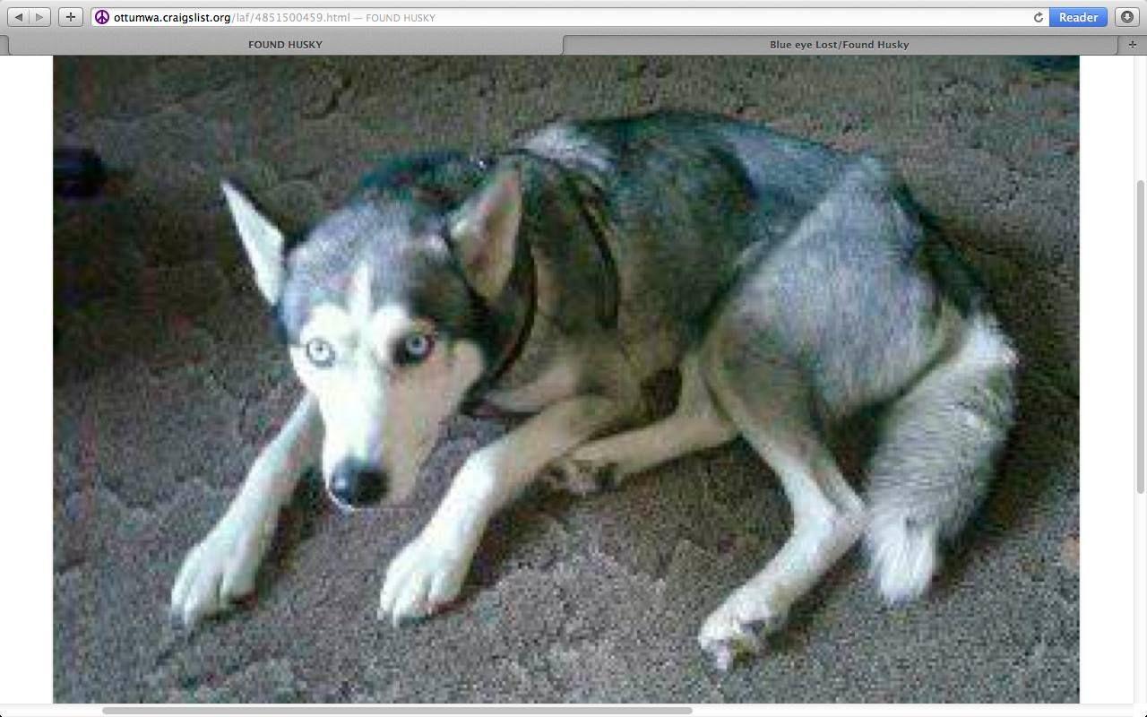 Found Female 1 17 15 Iowa Southeast Iowa Contact 6163072655 Info From Cl Malamute Husky Dogs