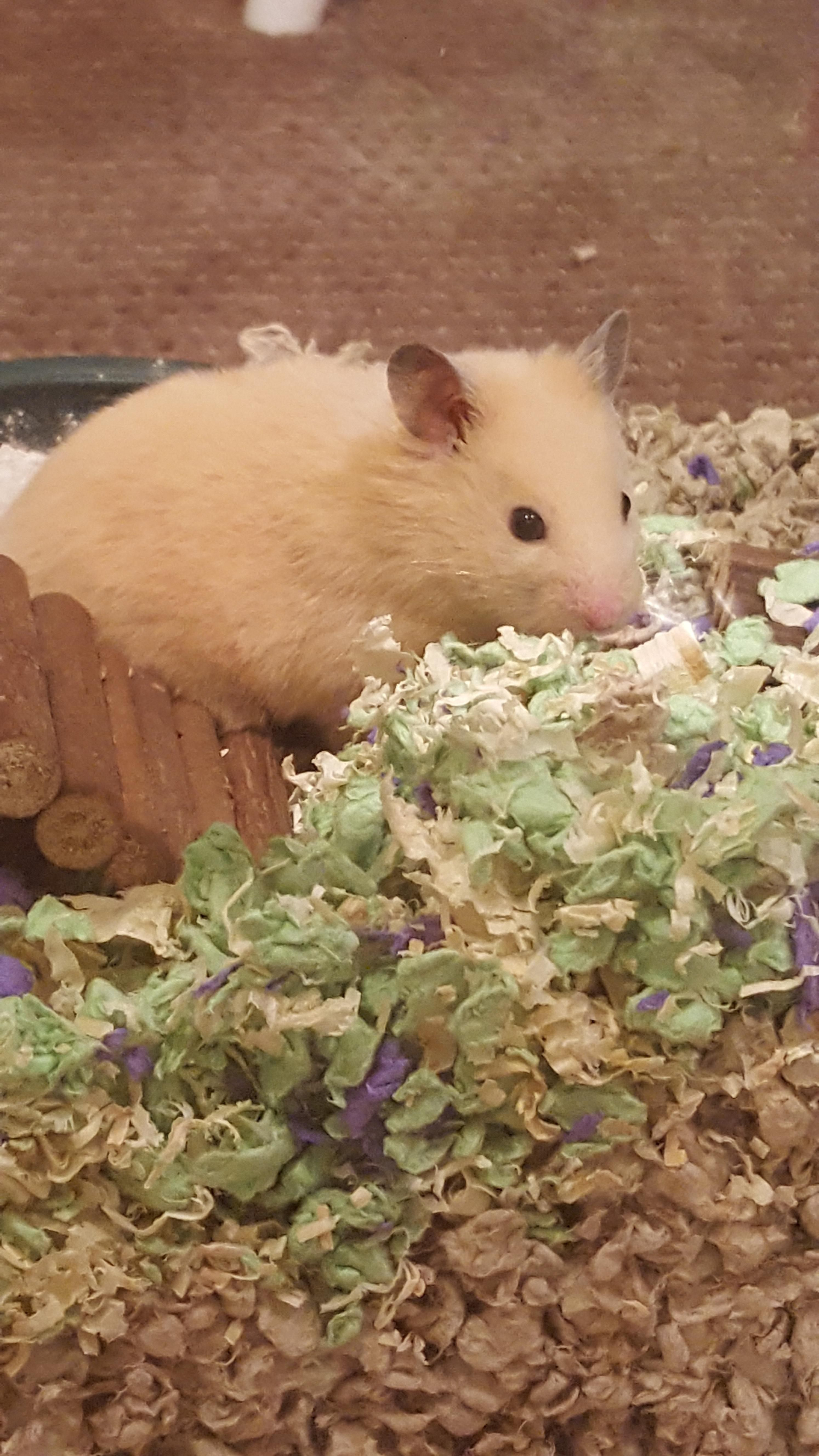 New Ham Http Ift Tt 2sae6zh Baby Hamster Funny Hamsters Cute Hamsters