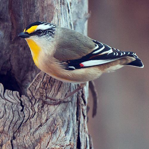 Striated Pardalote (Pardalotus striatus) | Australian ...