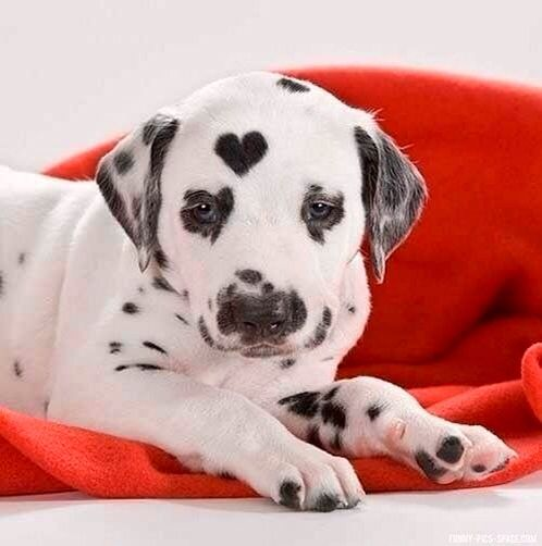 Dalmatian Puppy Dog With Heart Marking With Images Unusual Dog
