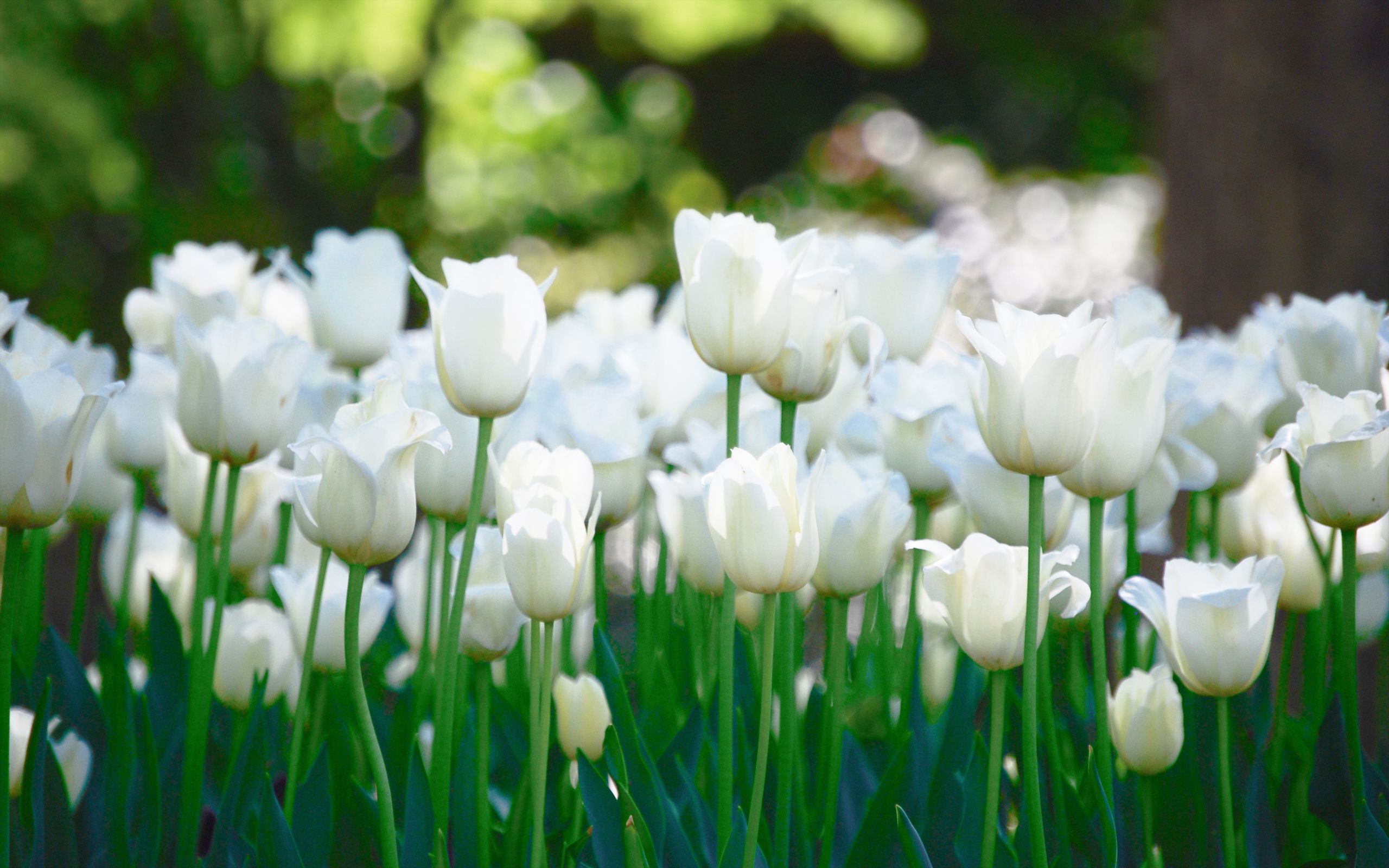 White Tulips Wallpapers Hd Flowers Wallpaper Nature