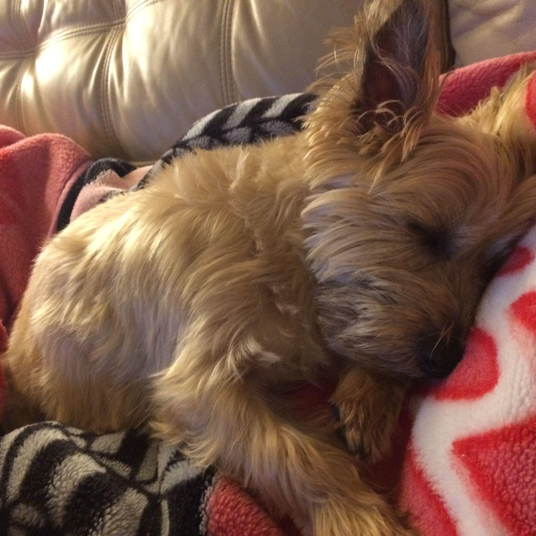 Sleeping Cairn Cairn Terrier Terrier Puppies Norwich Terrier