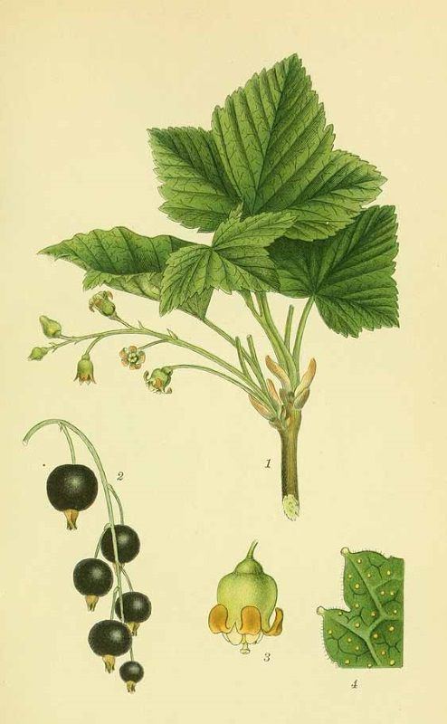 Le Cassis Ribes Nigrum Illustration Botanique Dessin