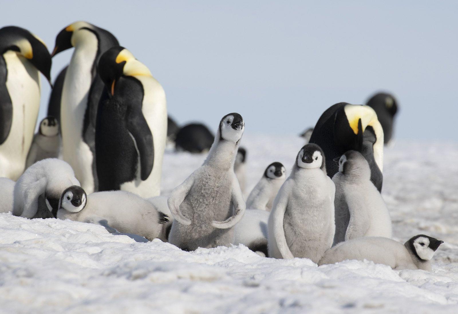 Snow Hill Island Penguins, Emperor penguin, Antarctica