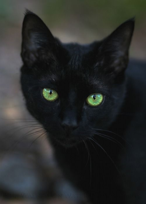 Beautiful Black Cat Reminds Me Of My Little Lovethose Bright