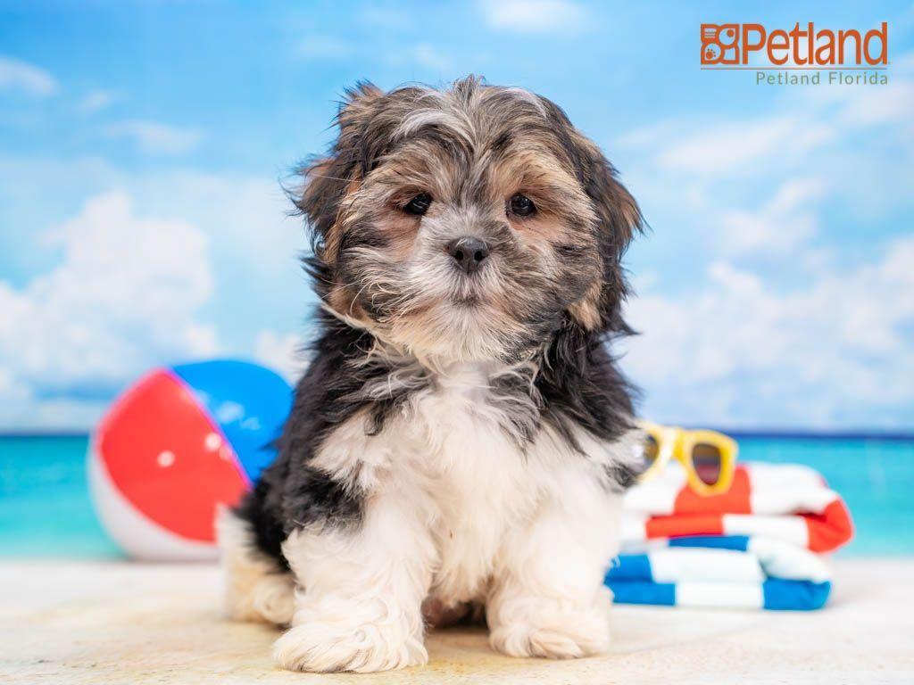 Petland Florida has Shorkie puppies for sale! Check out all our available puppies! #shorkie #puppy #doglover #adorable #dog #cute #pet #dogoftheday #photooftheday #puppylove #puppies #puppyoftheday