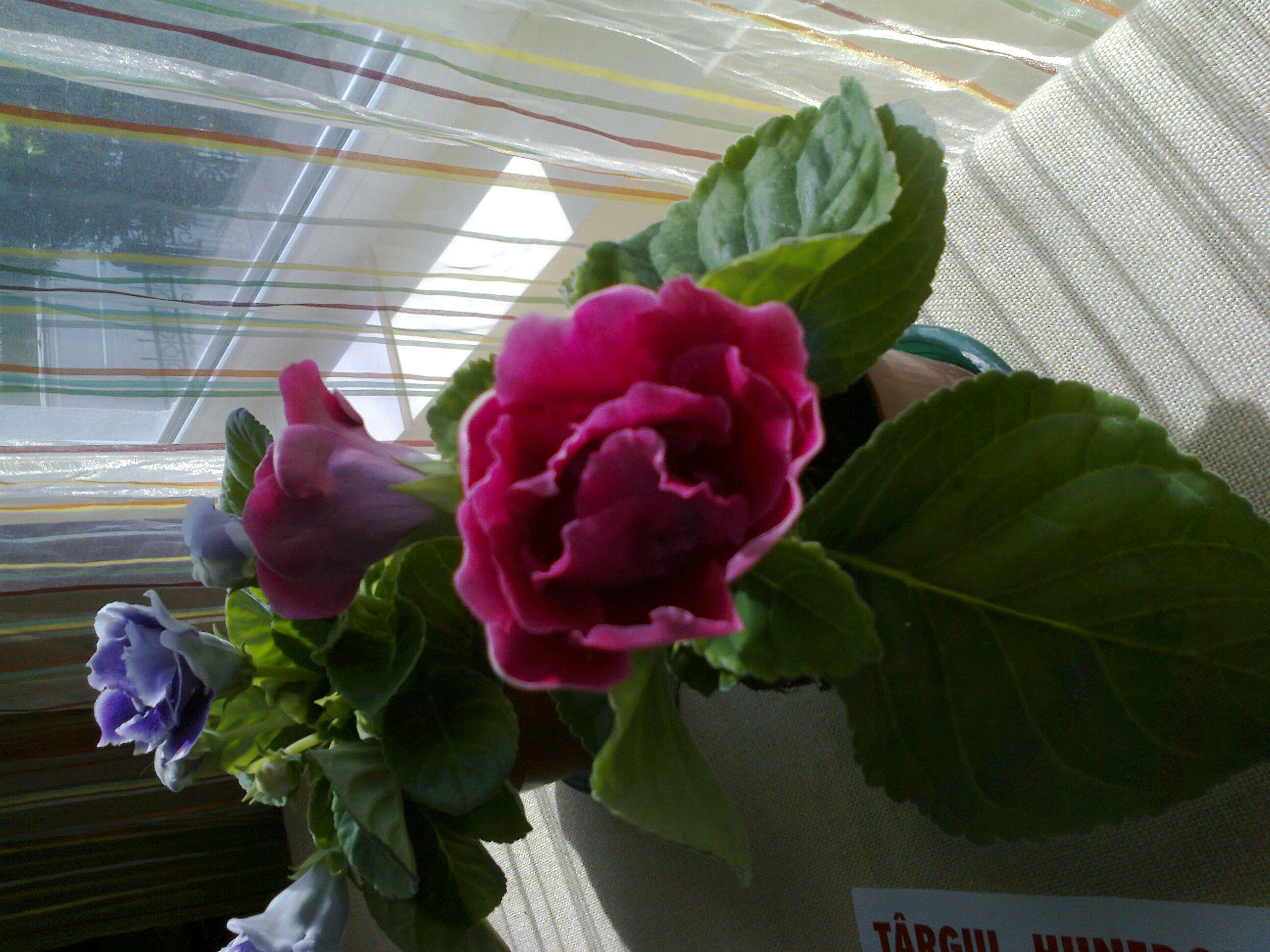 Роза каира картинки