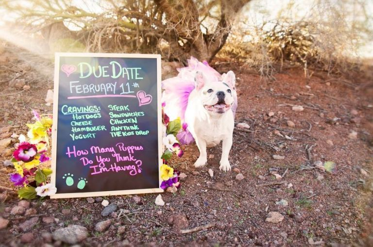 This French Bulldog S Maternity Photo Shoot Is Pure Gold
