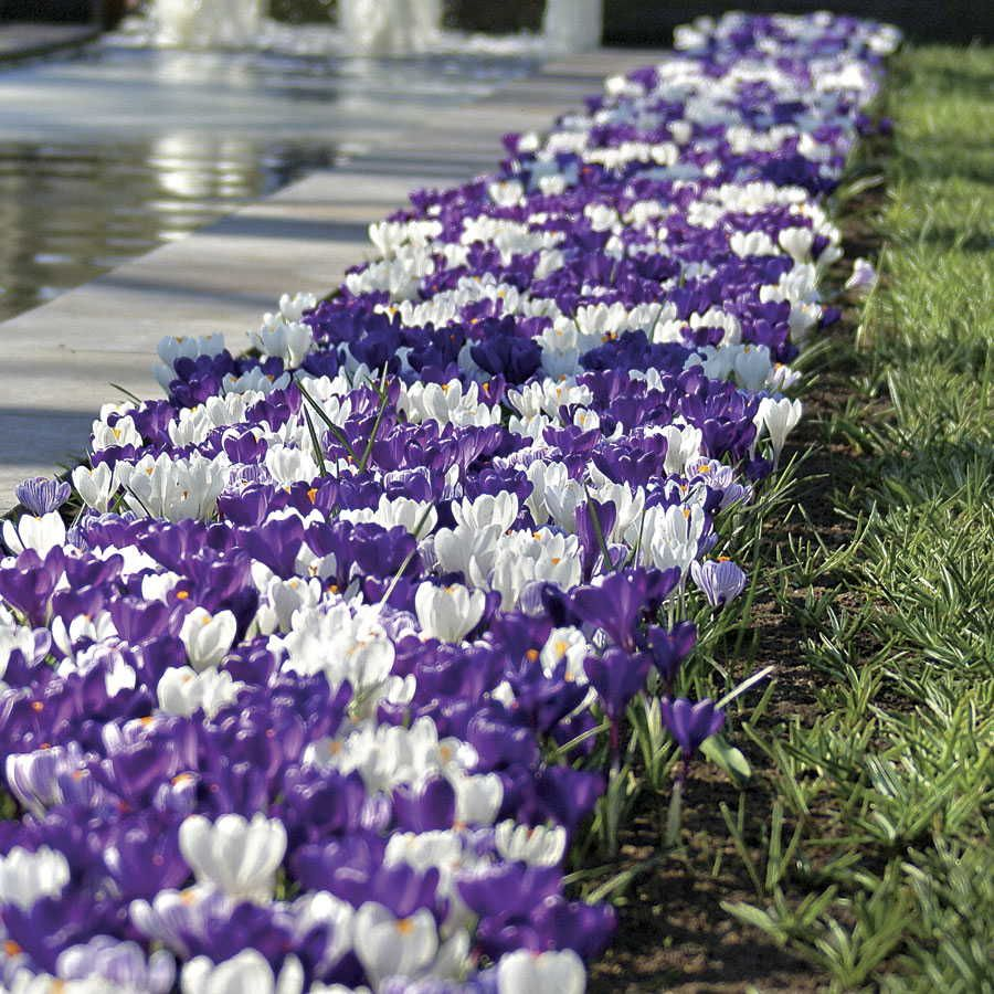 Tips For Bulb Planting This Fall Bulbs Root System And Plants