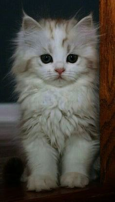 Calico Persian Kittens For Sale Cute Cats Pictures Persian Kittens Persian Kittens For Sale Cat Pics