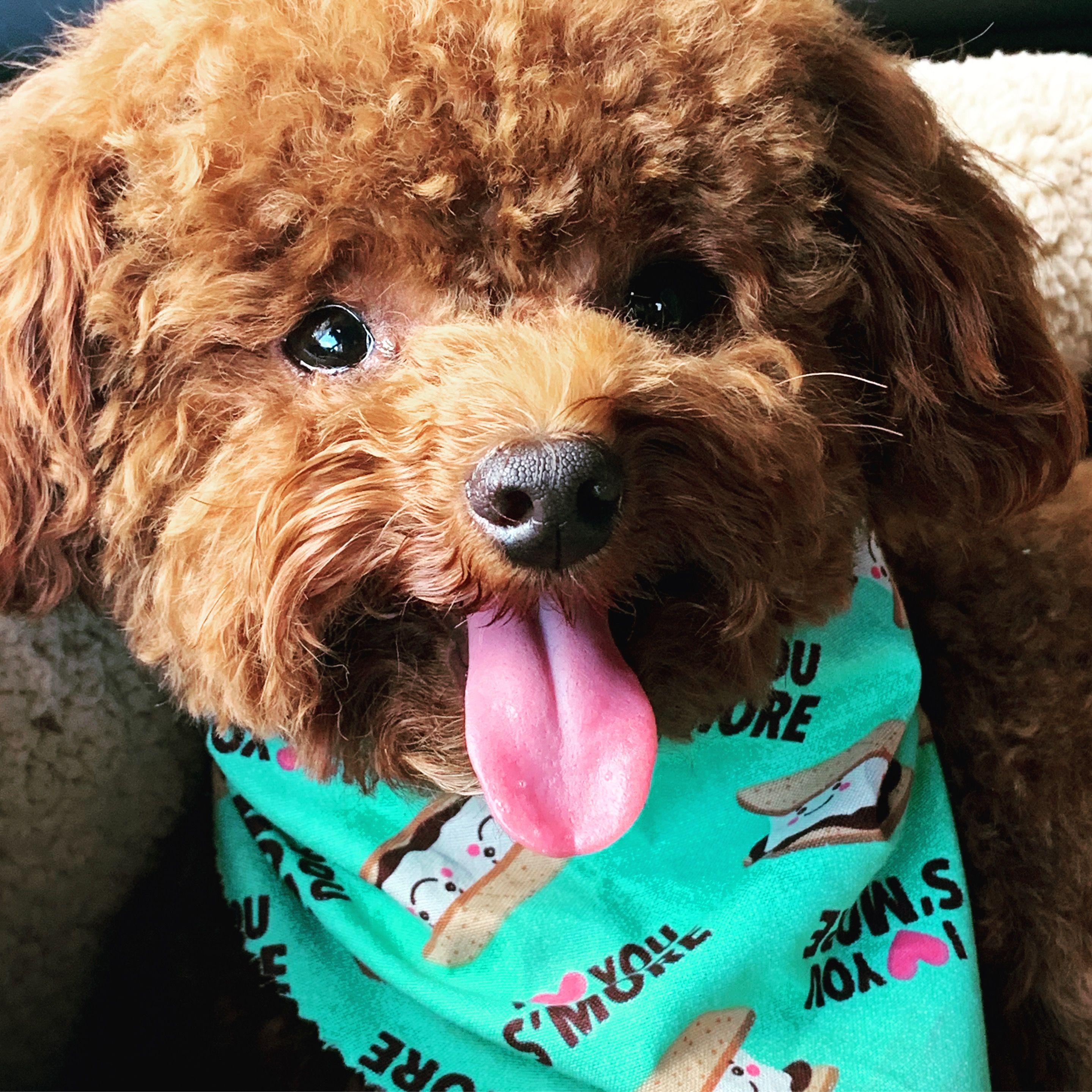 Craigslist Lab Dogs For Sale