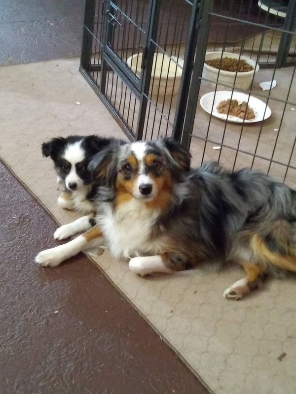 Mytoyaussie Com My Toy Aussie Com Toy Australian Shepherd Breeder In Michigan 231 215 8377 In 2020 Dog Breeding Business Australian Shepherd Dogs And Kids
