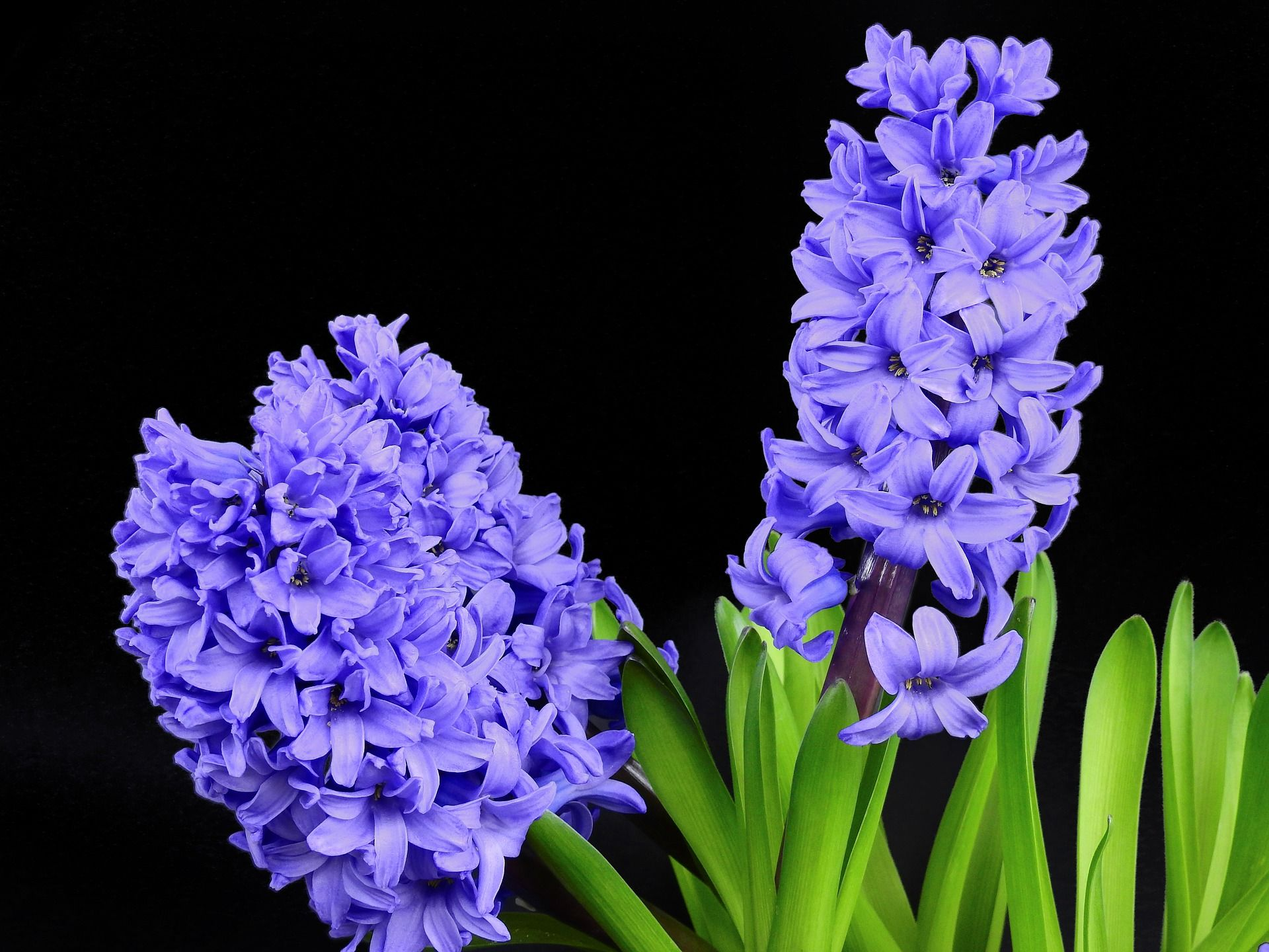 Fresh pink white violet hyacinth flowers in shopping bag on punchy