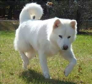 Https Www Bing Com Images Search Q All White Alaskan Malamute