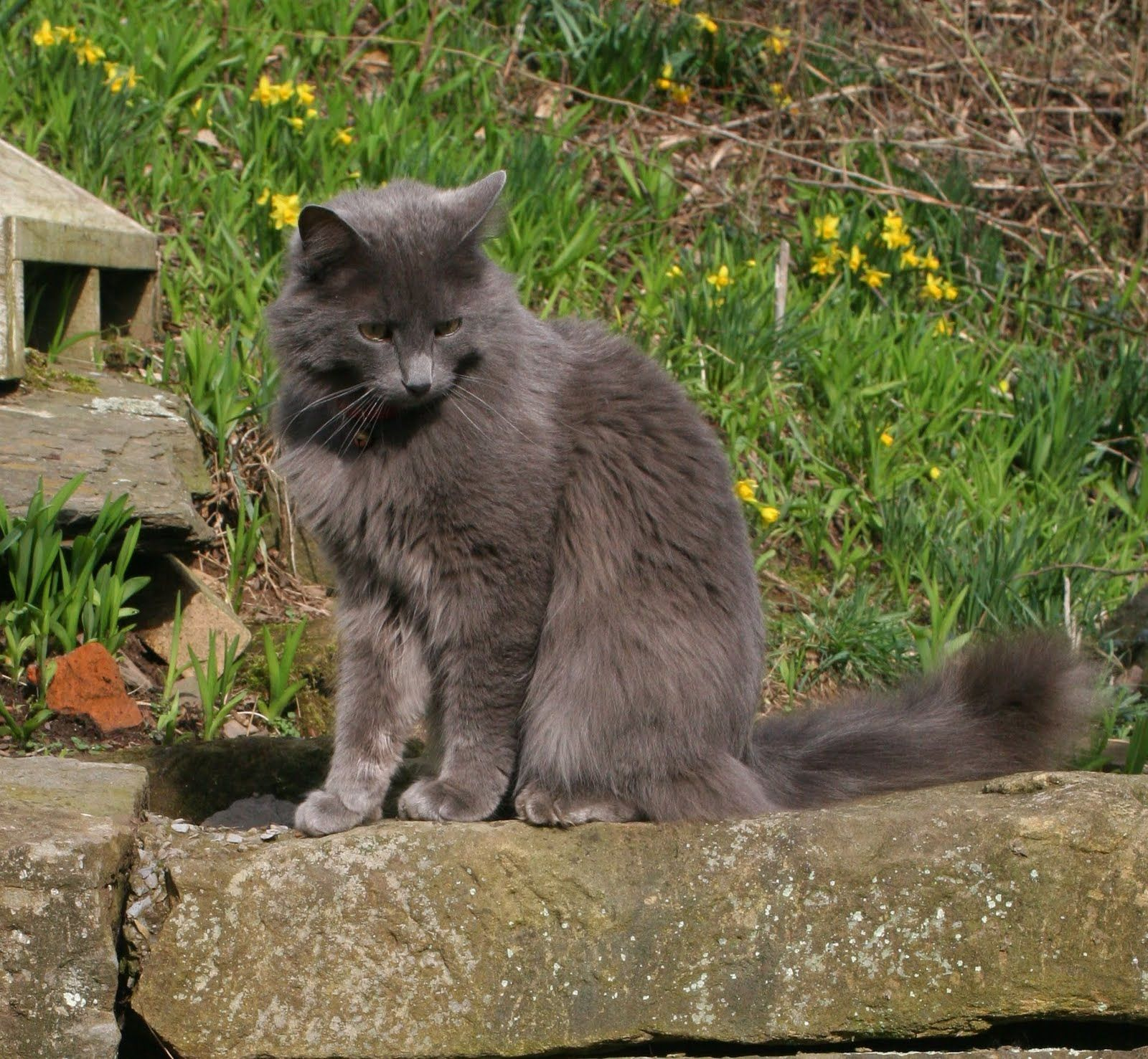 cats 101 Lucindaville New Cat Breed cats Pinterest
