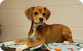Salem, WV Beagle/Boxer Mix. Meet Dixie, a puppy for
