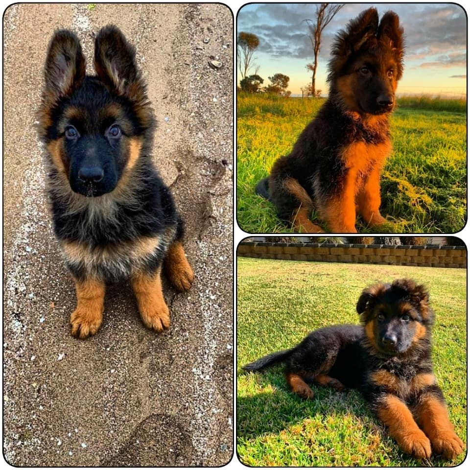 Adorable Best Quality Pure Breed German Shepherd Puppies Available