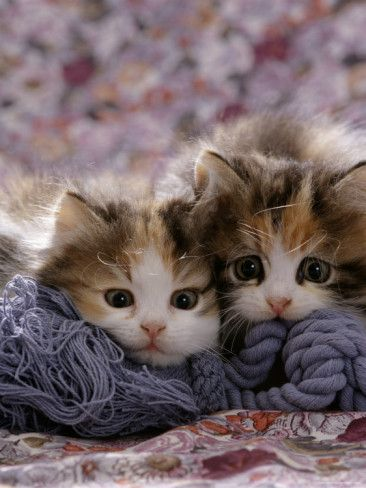 Domestic Cat Kittens, 8-Weeks, Tortoiseshell-And-White Sisters, (Persian-Cross')