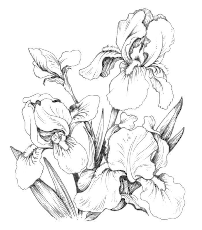 Coloring Page Iris Drawing Flower Drawing Coloring Pages
