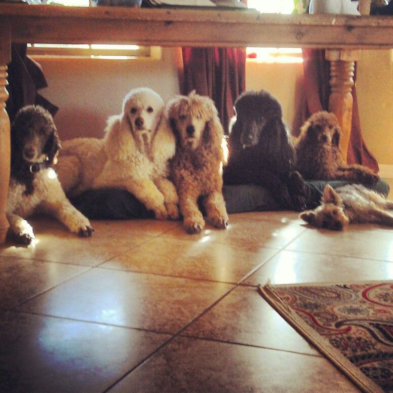 All My Childrn Poodle Animals Dogs