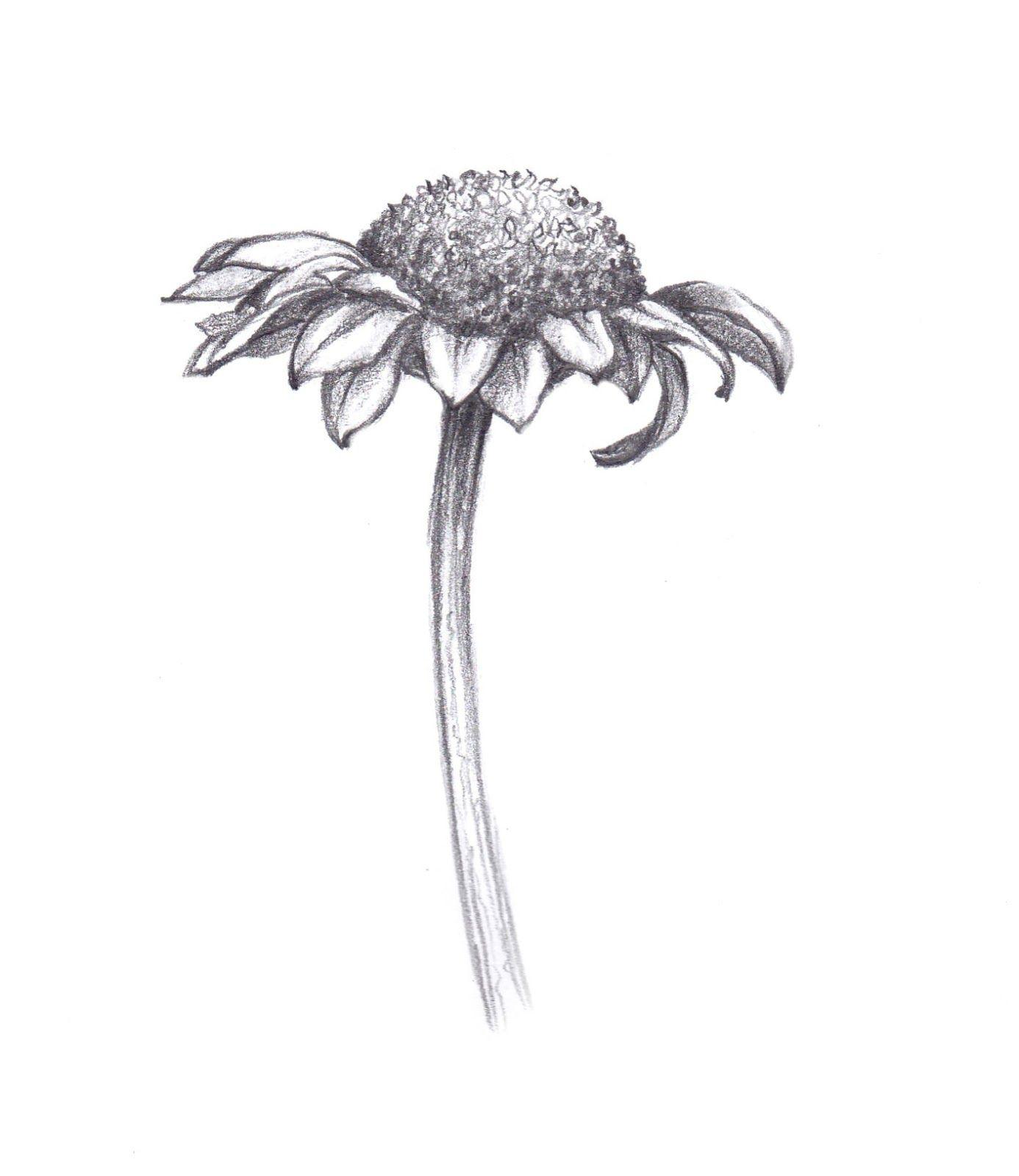 Botanical art pencil drawing google search flower drawings